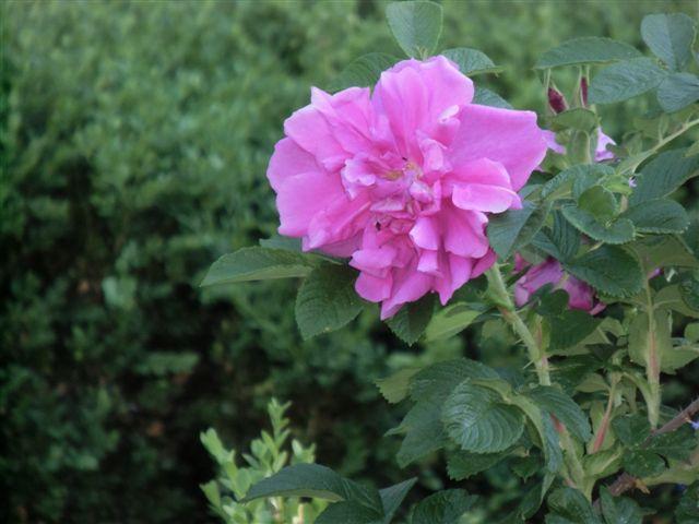 Blog Photo - Garden - Rose