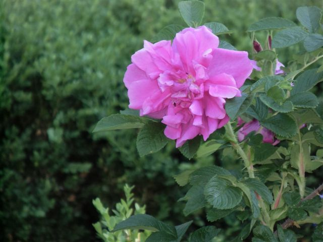 Blog Photo - Garden - Rose