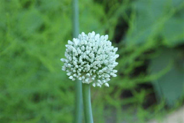 Blog Photo - Herb garden Onion Blossom