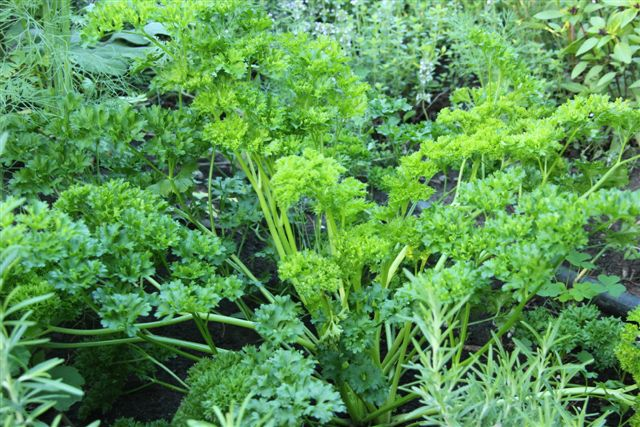 Blog Photo - Herb garden - parsley