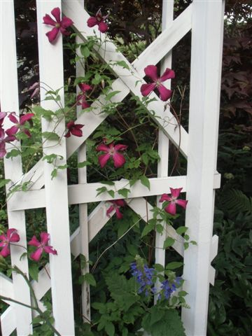 Blog Photo - Red clems on Trellis