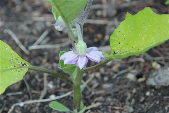 Blog Photo - Veggie Garden Eggplant in flower