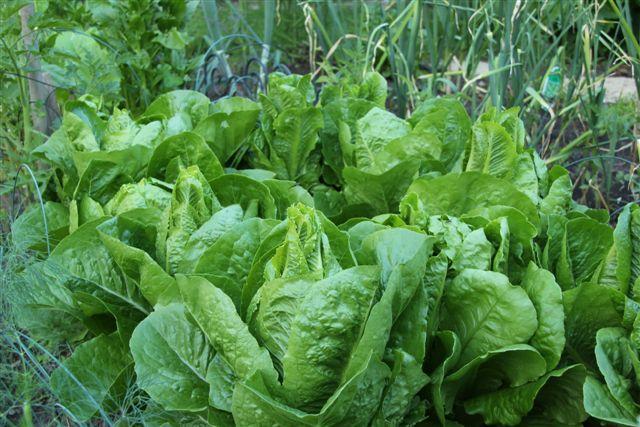 Blog Photo - Veggie Garden Lettuce