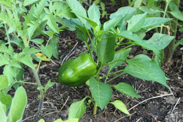 Blog Photo - Veggie Garden Pepper CU