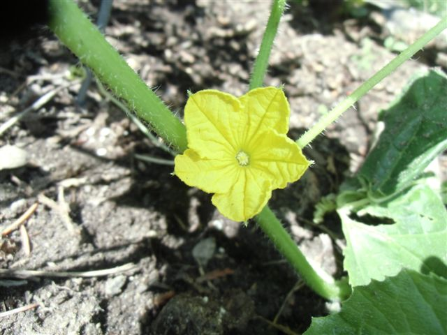 Blog Photo - Veggie Garden Squash flower