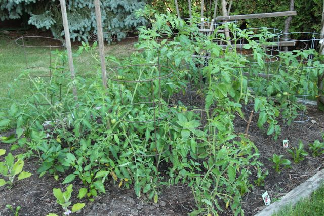 Blog Photo - Veggie Garden Tomato Bed