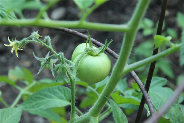 Blog Photo - Veggie Garden TomatoCU