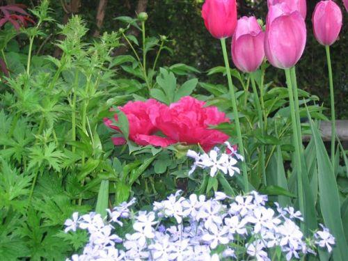 Blog Photo - Garden - Low flowers in front of tulips