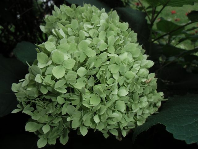 Blog Photo - Last Blooms - Green Hyrdrangea