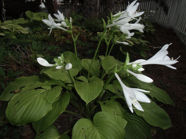 Blog Photo - Last Hosta to Bloom