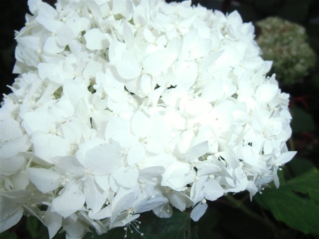 Blog Photo - Last White Hydrangea CU