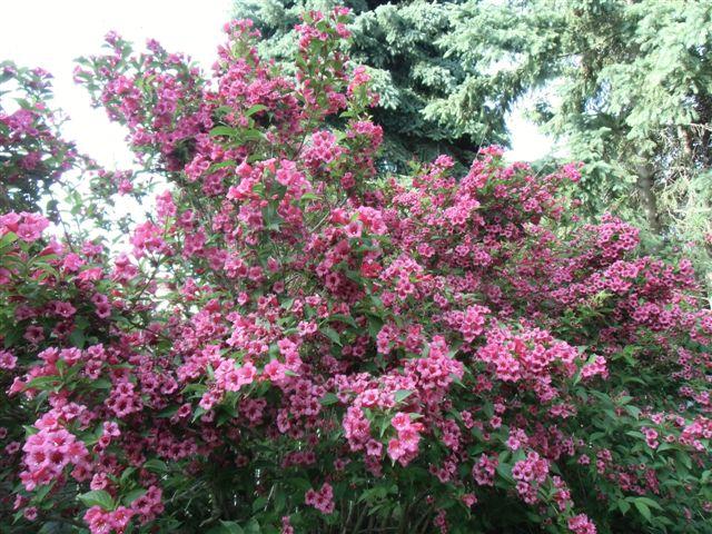 Blog Photo - Verandah - Pink blooming shrub