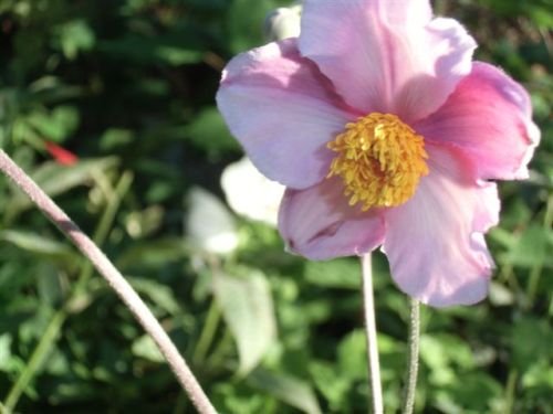 Blog Photo - anemone Bloom 2