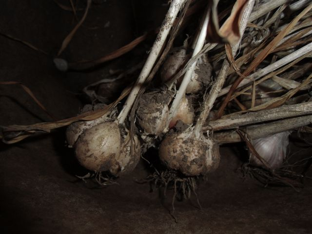 Blog Photo - Garlic 2
