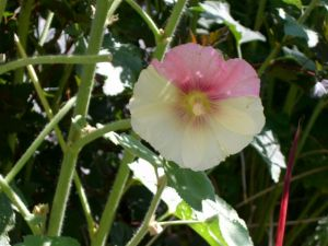 Blog Photo - Hollyhock Mutant