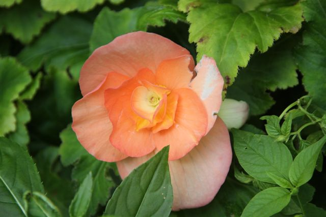 Blog Photo - Mary's Garden begonia