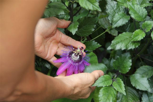 Blog Photo - Mary's Garden Passion flower