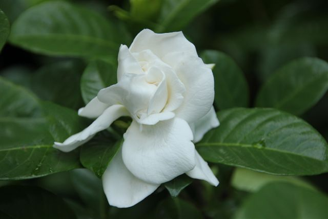 Blog Photo - Mary's Garden White flower