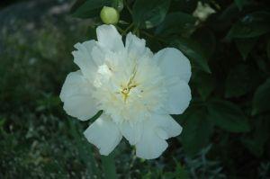 Blog Photo - Flowers  for Jean Linda's Peony