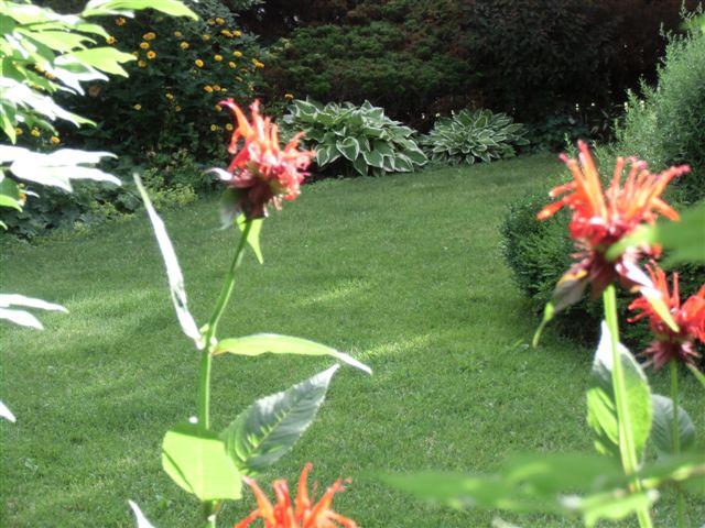 Blog Photo - Garden - Lawn Bee Balm and hosta