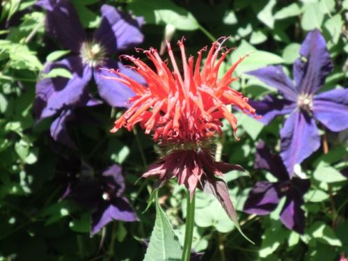 Blog Photo - Garden - Red Bee Balm and purple clems