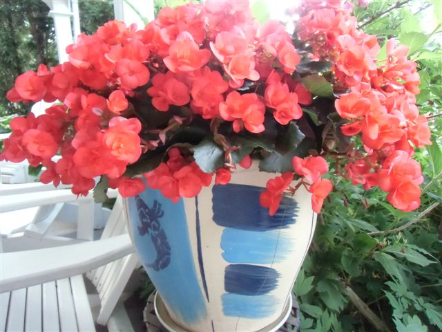 Blog Photo - Garden - Red begonias in pot2