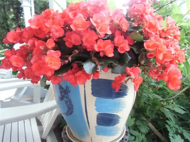 Blog Photo - Garden - Red begonias in pot2