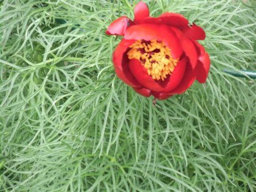Blog Photo - Garden - Red fernleaf peony