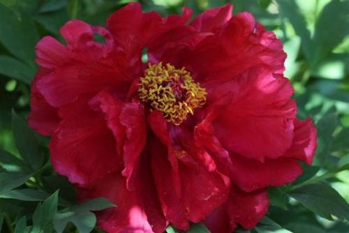 Blog Photo - Red Peony