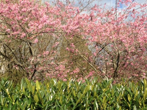 Blog Photo - Spring Cherry trees blooming