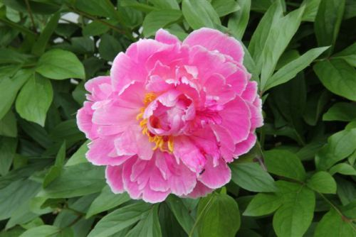 Blog Photo - Pink Peony