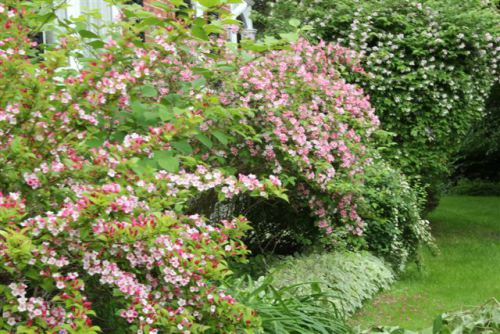 Mature Shrubs in Bloom