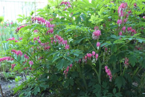 Spring Garden - Pink Bleeding Heart