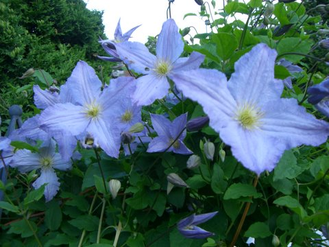 Blog Photo - Blue clematis2
