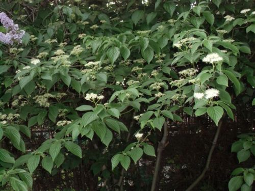 Mama's Garden Dogwood blooms May 2015