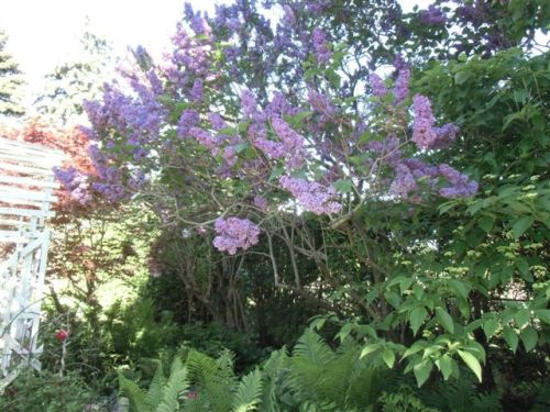 Mama's Garden Purple Lilac