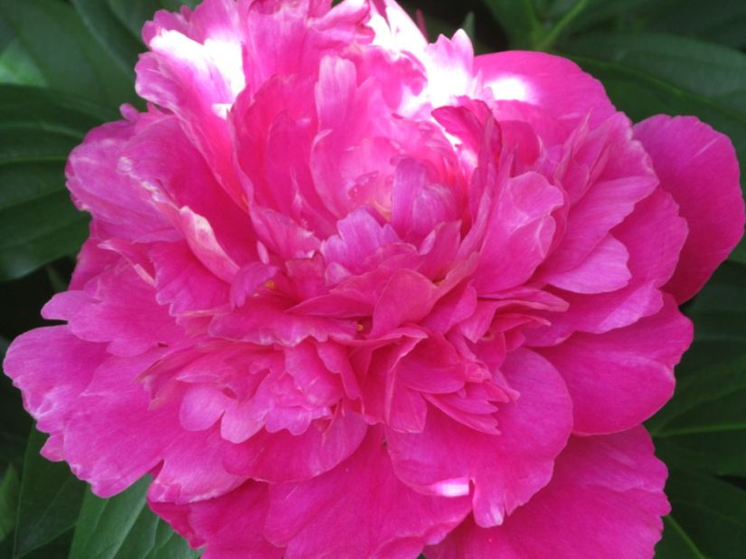 Blog Photo - Afternoon Tea Poppy deep pink
