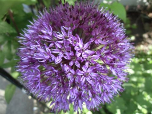 Blog Photo - Allium