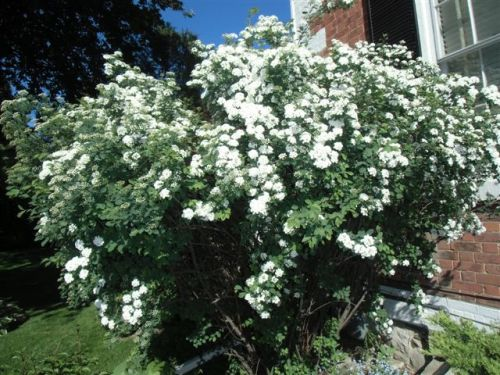 Blog Photo - Bridal Wreath