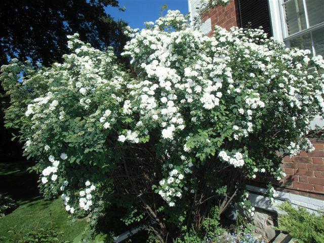 Blog Photo - Bridal Wreath