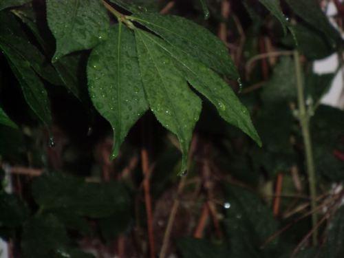 Blog Photo - Rainy Burning Bush Leaf