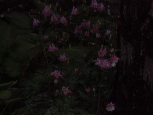Blog Photo - Rainy Columbines in dark