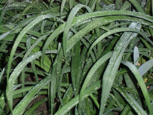 Blog Photo - Rainy Day Lily leaves