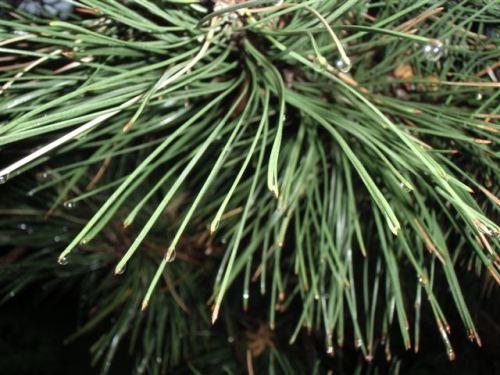 Blog Photo - Rainy Pine needles