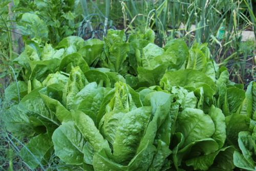 Blog Photo - Veggie Garden Lettuce