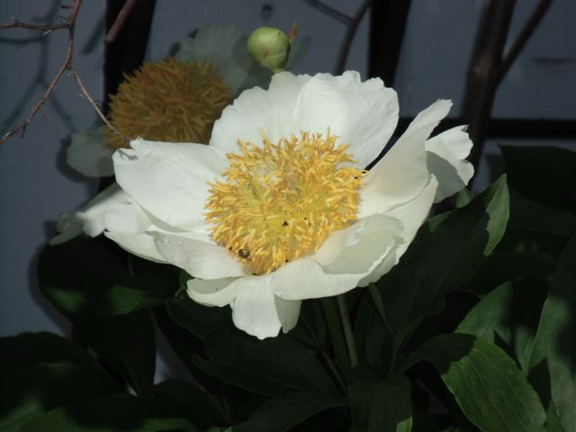 Blog Photo - White peony