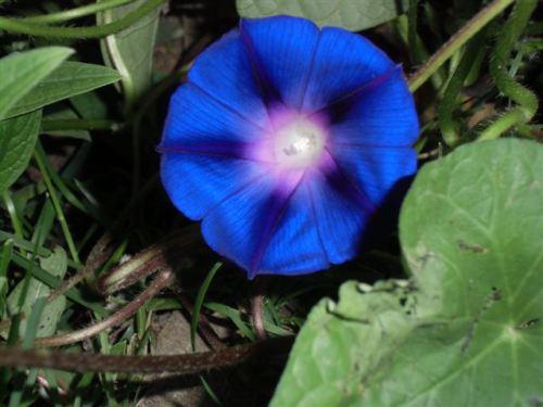 Blog Photo - Blue Morning glory