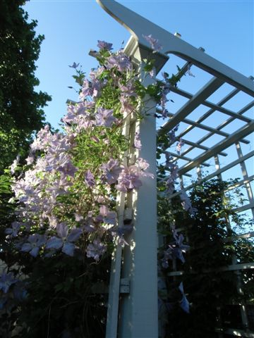 Blog Photo - Blue-Pink clems