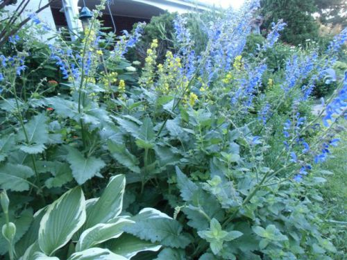 Blog Photo - Blue Salvia and Yellow