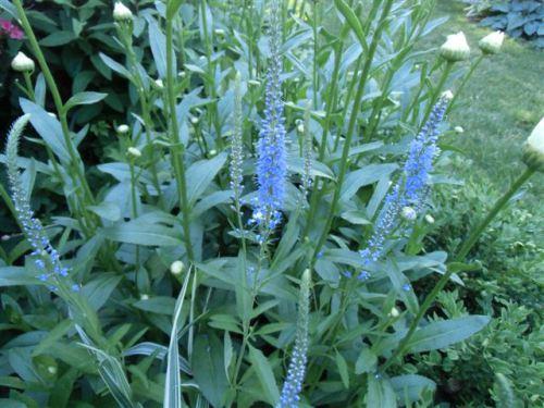 Blog Photo - Blue Salvia Group
